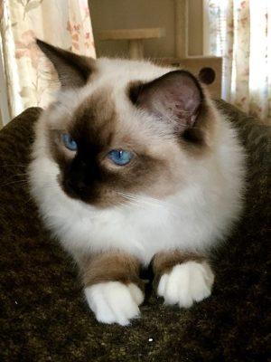 2018-2019 Top Pick Kitten
